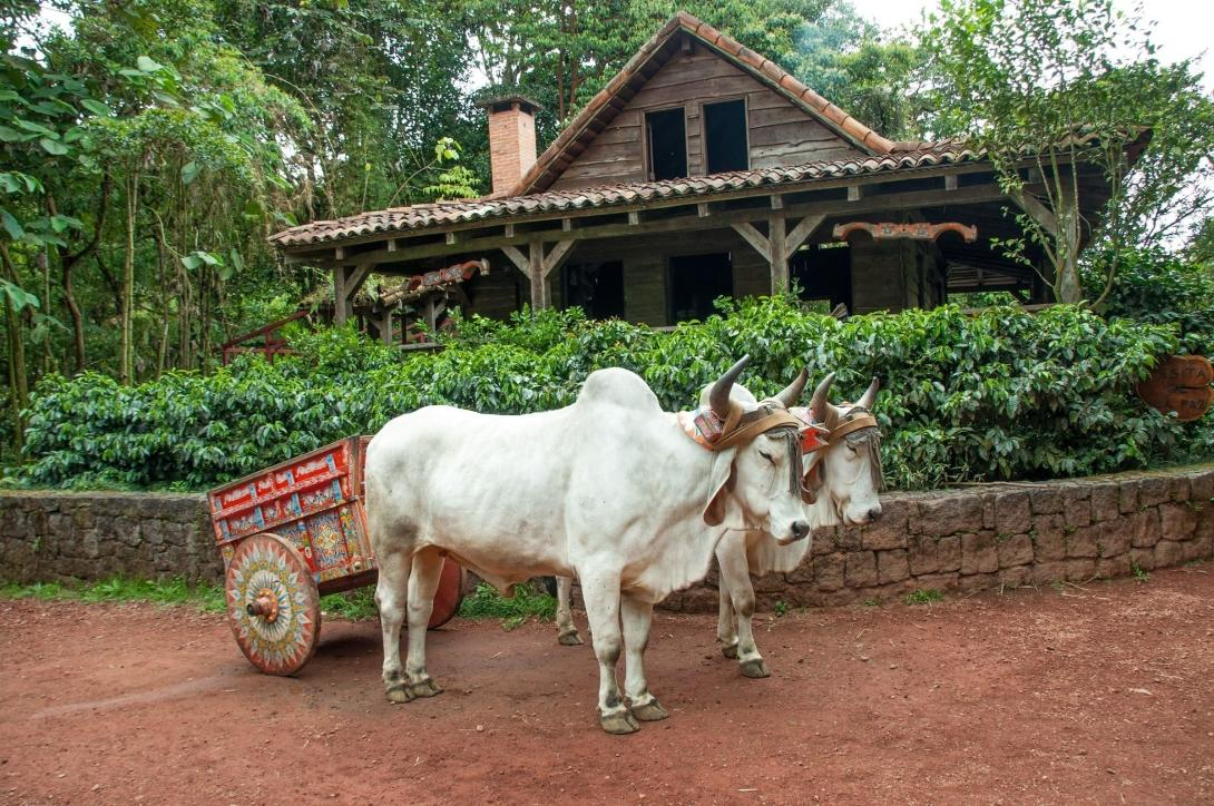 Cows pulling a cart in a coffee plantation in Costa Rica.